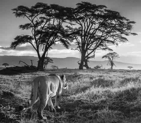 Nuevo LAND ROVER apoyara a la conservación de los leones en Kenia